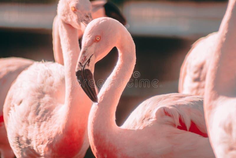 Buitensporige Flamingoclose-up royalty-vrije stock afbeelding