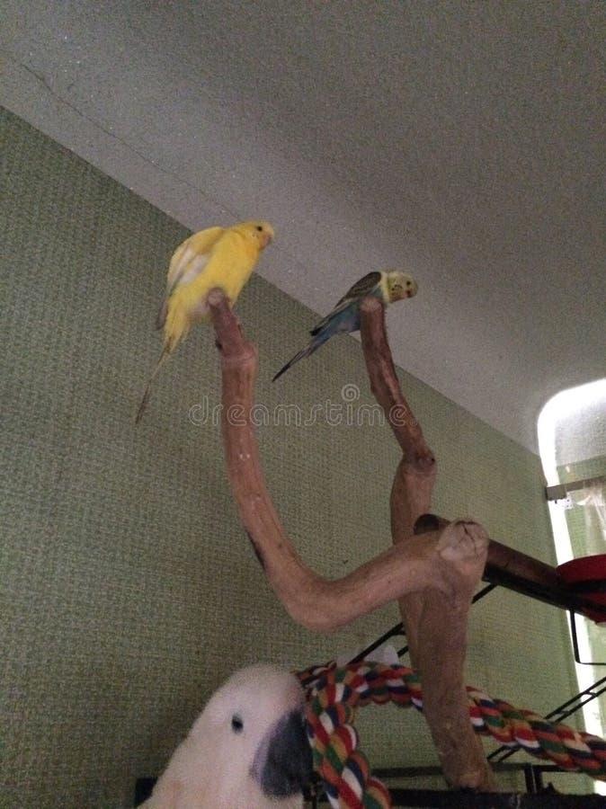 Buitensporige parkietvogels royalty-vrije stock afbeeldingen