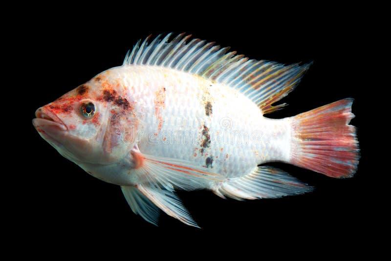 Buitensporige Tilapia Vissen stock fotografie