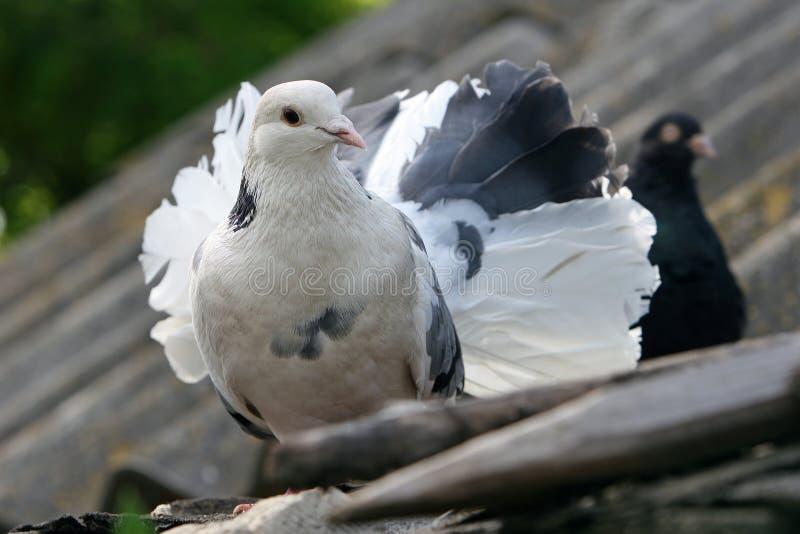 Buitensporige witte duif op het dak royalty-vrije stock foto's