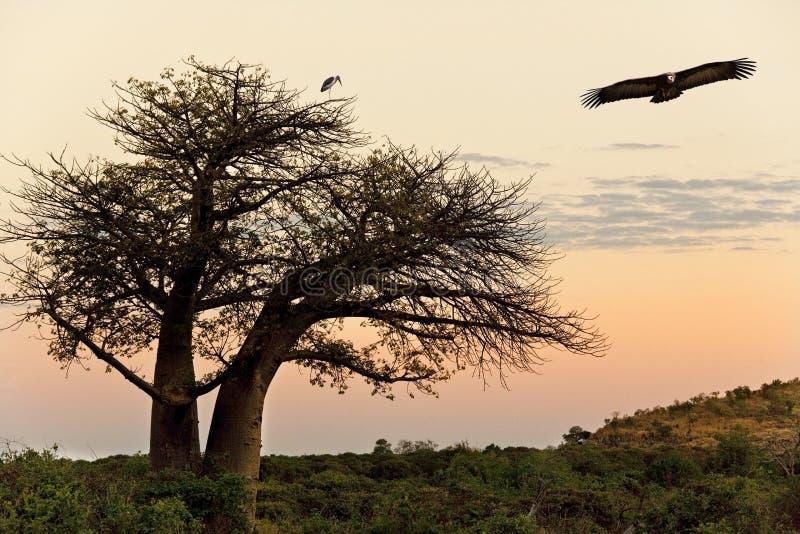 Buitre - árbol del baobab - Savuti - Botswana imagen de archivo