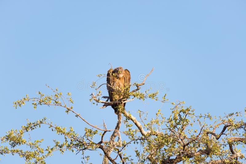 Buitre de Brown encaramado en rama de árbol del acacia Opinión del Telephoto, cielo azul del claro Parque nacional de Kruger, des fotos de archivo libres de regalías