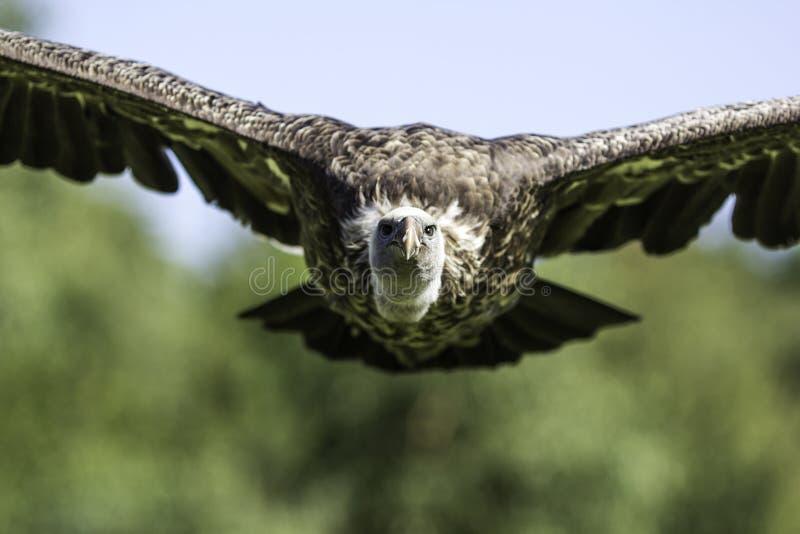 Buitre de Rüppells Griffon de frente en vuelo fotos de archivo libres de regalías