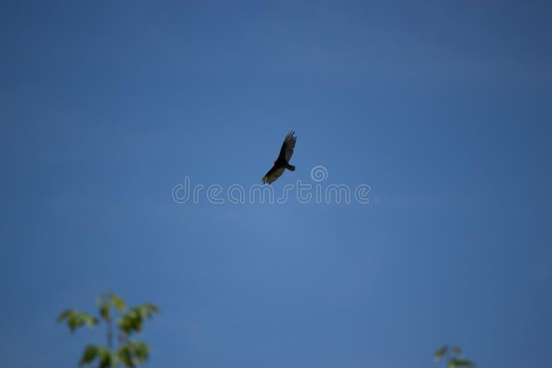 Buitre de Turquía, vuelo de la aureola del Cathartes en cielo azul fotos de archivo libres de regalías