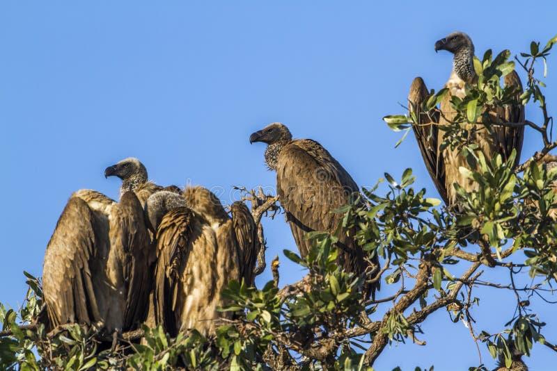 Buitre del cabo en el parque nacional de Kruger, Suráfrica imágenes de archivo libres de regalías