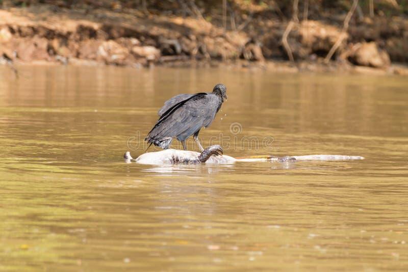 Buitre negro que flota sobre un caimán muerto en el río de Pantana foto de archivo