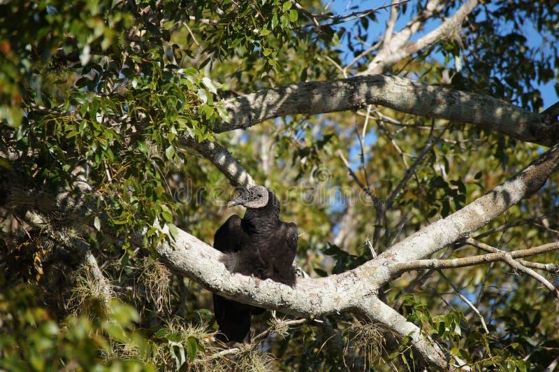 Buitre negro soñoliento que se sienta arriba en el árbol de la rama imágenes de archivo libres de regalías