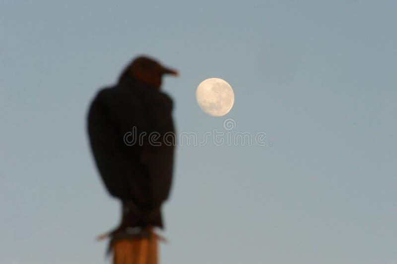 Buitre negro y luna fotografía de archivo