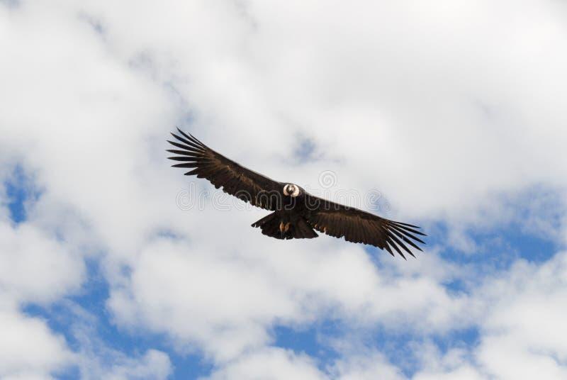 Buitre que vuela sobre el barranco de Colca, Perú imagen de archivo libre de regalías