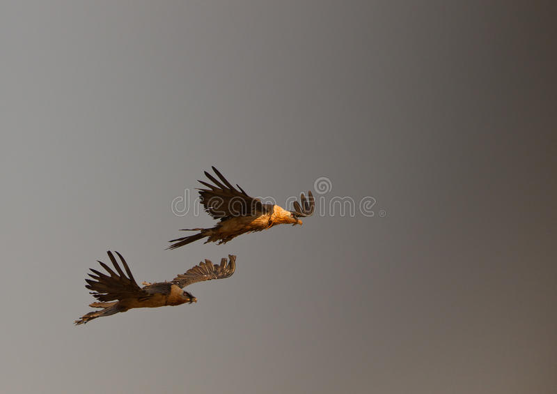 Buitres barbudos que vuelan en la tormenta foto de archivo libre de regalías