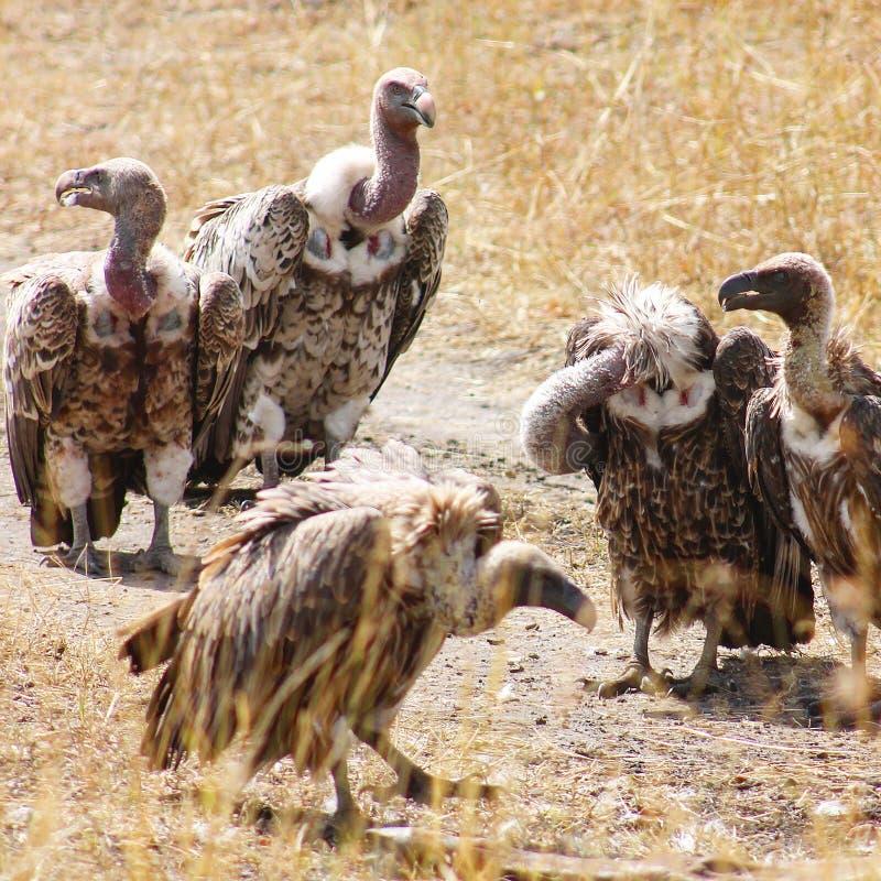 Buitres en el desierto imagen de archivo libre de regalías