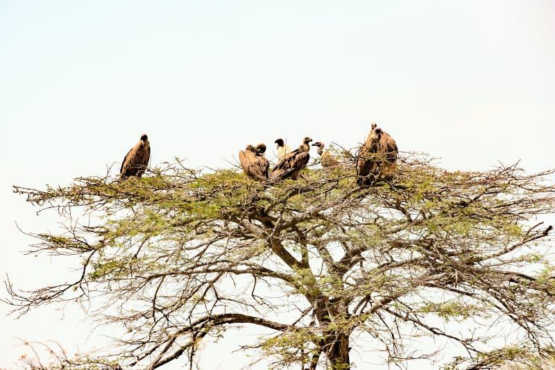 Buitres en la res muerta de la descomposición del árbol que espera para, llano de Serengeti, Tanzania imagenes de archivo