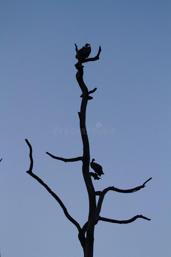 Buitres en un árbol seco fotos de archivo