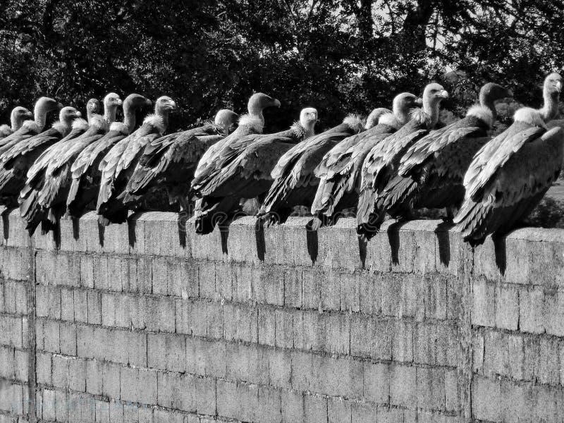 Buitres grandes que descansan sobre una pared después de almuerzo fotos de archivo