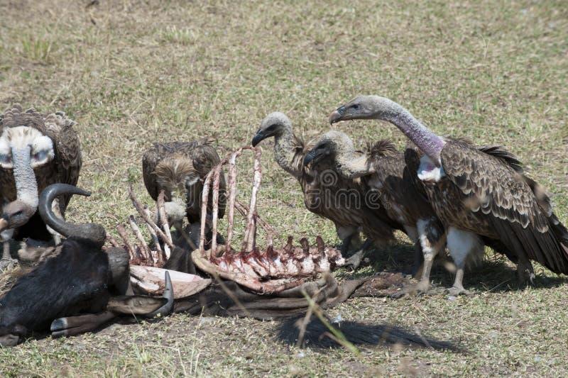 Buitres que alimentan en la res muerta del búfalo foto de archivo libre de regalías