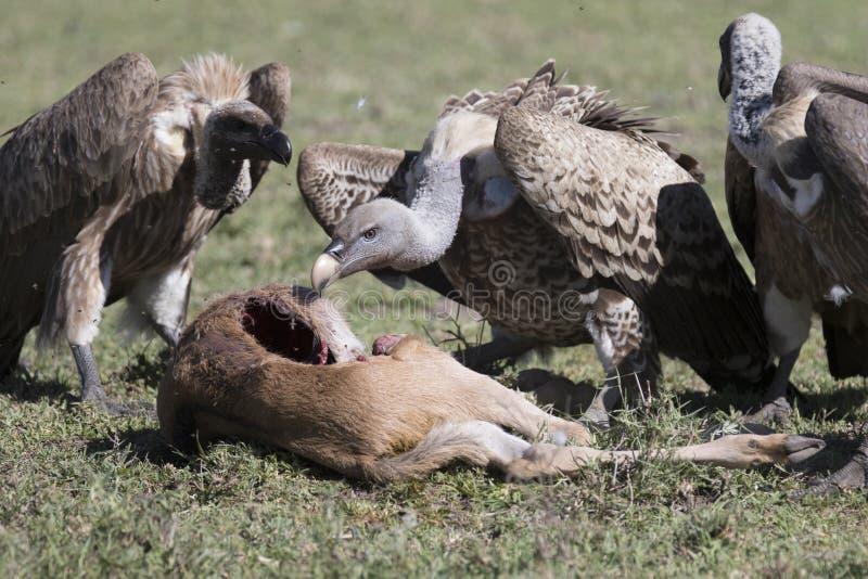 Buitres que alimentan en una res muerta del becerro del ñu imagen de archivo