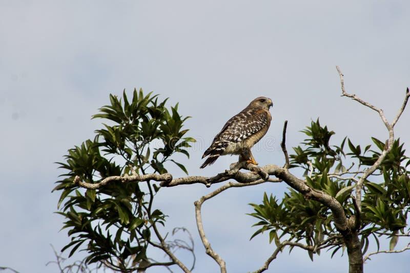 Buizerd in Everglades royalty-vrije stock afbeelding