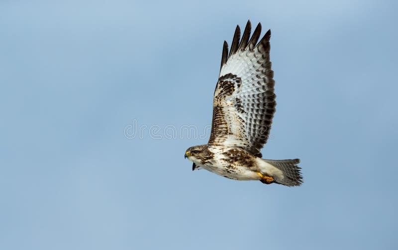 Buizerd met open vleugels die op het Eiland van Mull, Argyll, Schotland vliegen royalty-vrije stock foto