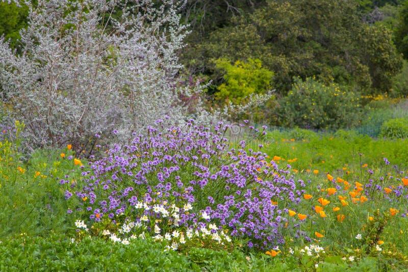 Bujny pole Kalifornia Wildflowers i małpa kwiaty fotografia royalty free
