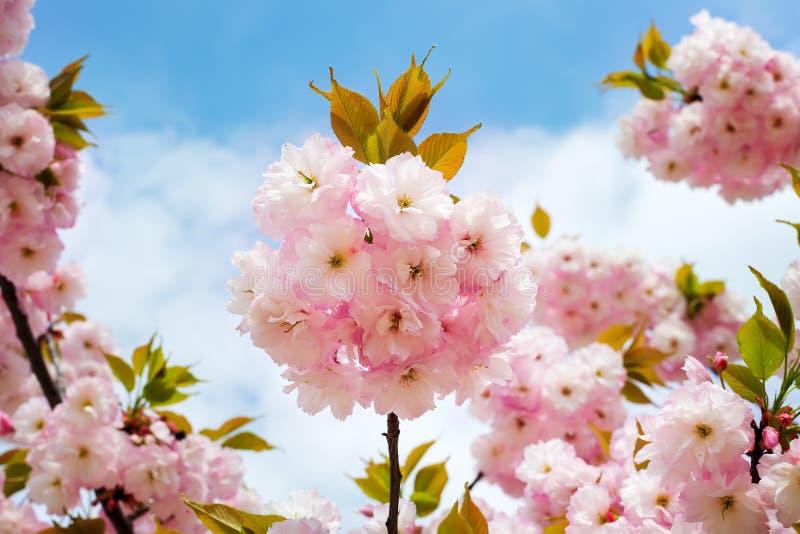 Bujny różowy kwiatostan czereśniowy drzewo przeciw niebieskiemu niebu Sakura gałąź z kwiatami i małymi liśćmi r zdjęcie royalty free