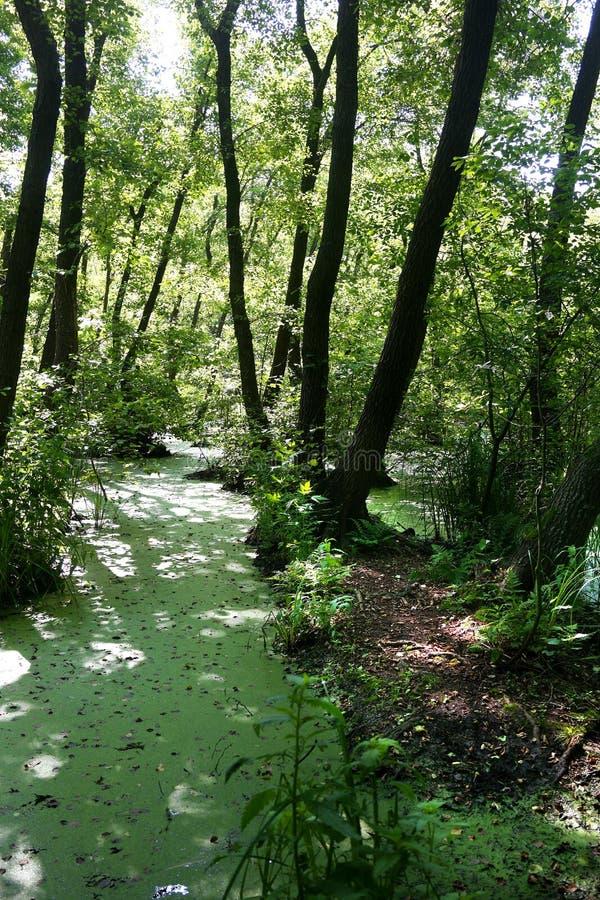 Bujny zieleni bagno i tropikalna lasowa scena obraz stock
