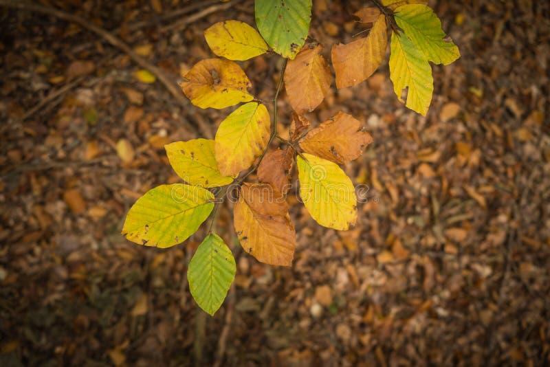 Buków liście w jesień kolorach zdjęcie royalty free