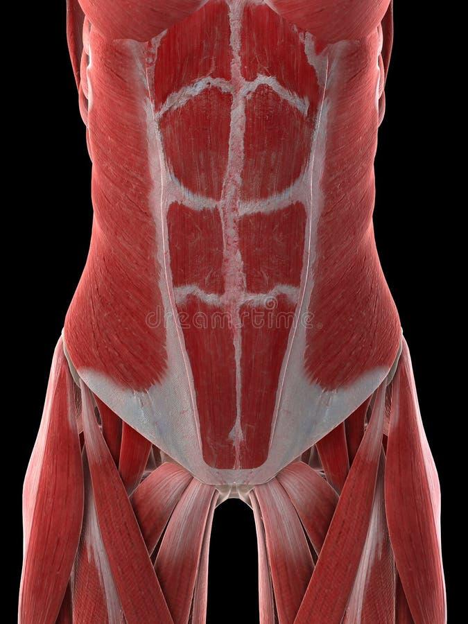 Buk- muskler för kvinnlig vektor illustrationer