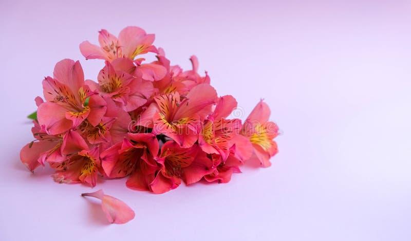 Bukett av alstroemeria eller blommor för peruansk lilja på rosa bakgrund royaltyfri bild