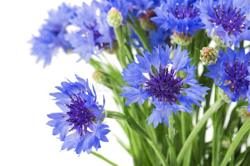 Bukett av blåa blåklinter som isoleras på vit bakgrund Selektivt fokusera royaltyfri bild