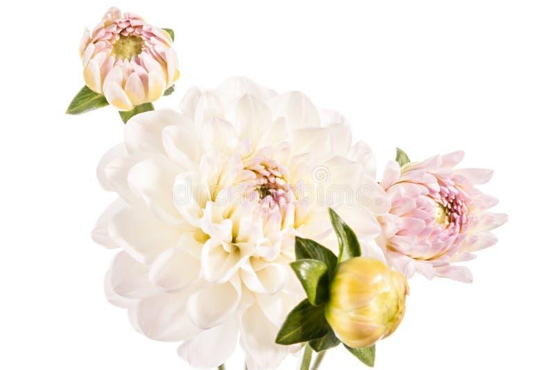 Bukett av dahliablommor som isoleras på en vit bakgrund royaltyfri bild