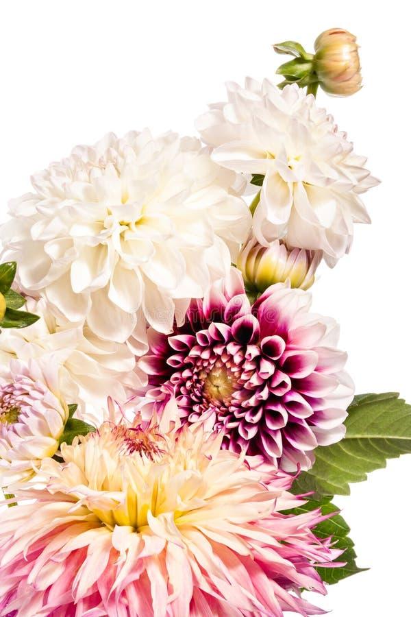 Bukett av dahliablommor som isoleras på en vit bakgrund royaltyfria bilder