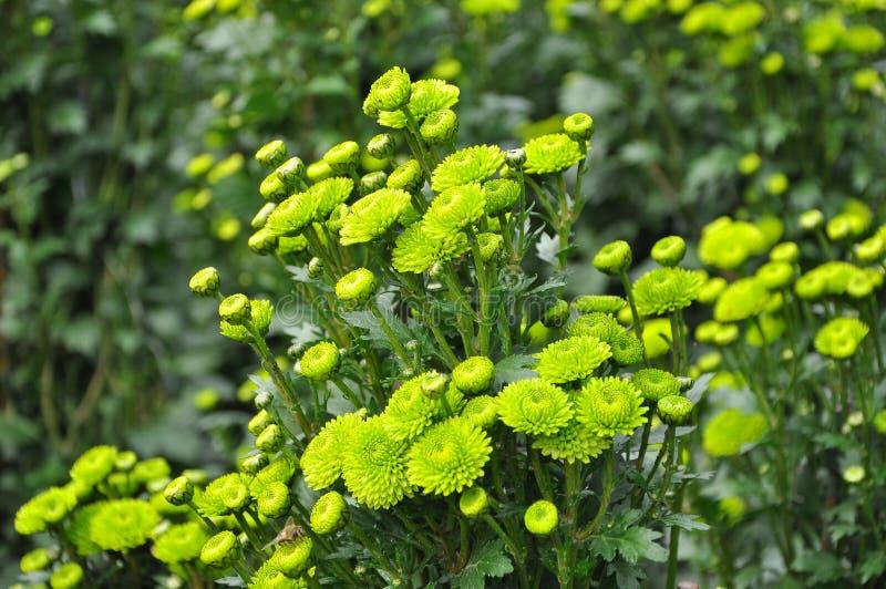 Bukett av delikata gröna blommor av krysantemumet med droppar av dagg i solen arkivfoto