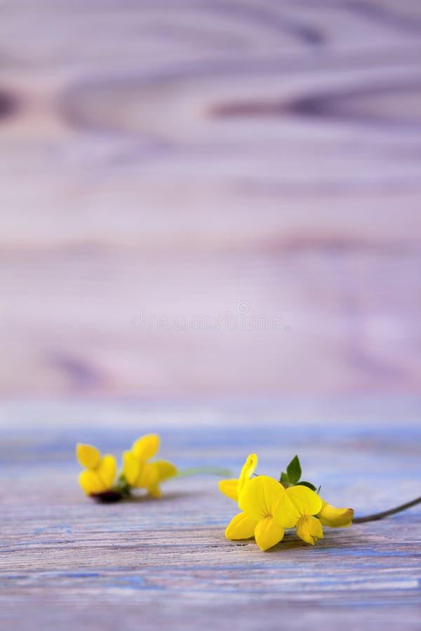 Bukett av den gula lathyrusen royaltyfri fotografi