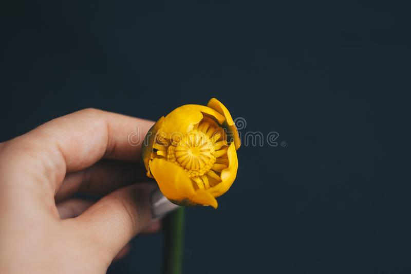 Bukett av den gula waterlily blomman med det gröna bladet nytt rivit sönder upp nära upp på svart bakgrund av tyg Gul lotusblomma fotografering för bildbyråer