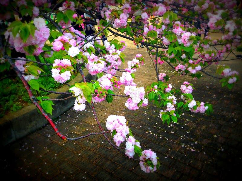 Bukett av den japanska körsbärsröda blomningen i vår arkivbilder