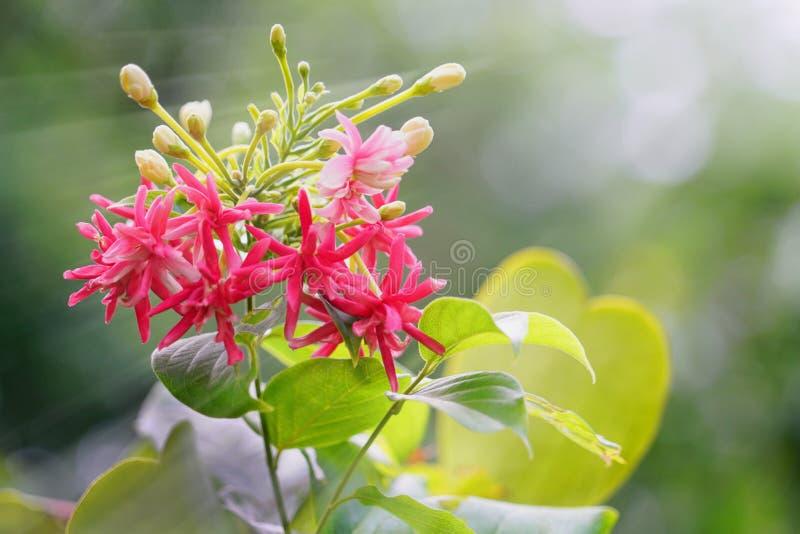 Bukett av den mjuka rosa, röda och vita rangoon rankan eller den fulla sjömanblomman med gröna sidor och solljus royaltyfri bild