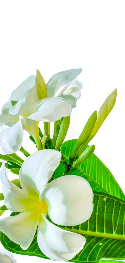Bukett av den vita plumeriablomman med något blad royaltyfria foton
