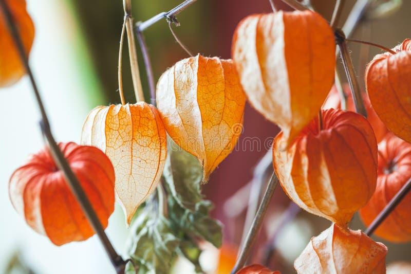 Bukett av det ljusa röda torra physalisskalet, closeup fotografering för bildbyråer