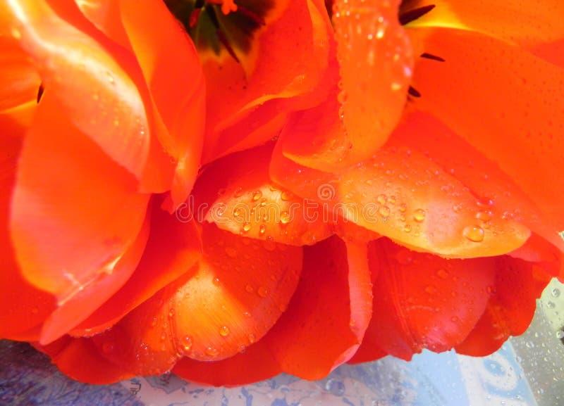 Bukett av fullt utvecklade röd-guling tulpan arkivfoto
