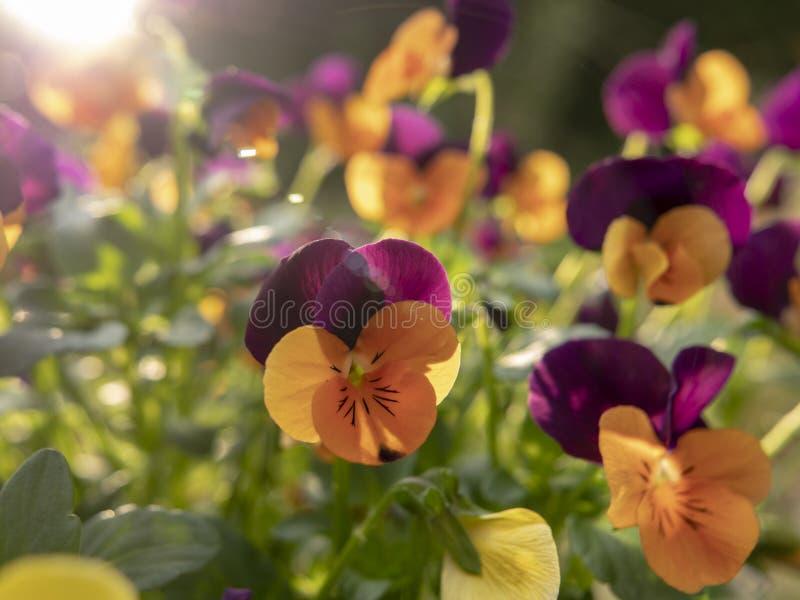 Bukett av guling- och lilablommor arkivbild