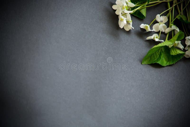 Bukett av h?rliga vita violets f?r tr?dg?rd p? en svart arkivbild