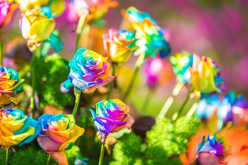 Bukett av kulöra rosor (regnbågen steg), arkivbilder