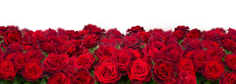 Bukett av mörker - röda rosor stänger sig upp fotografering för bildbyråer
