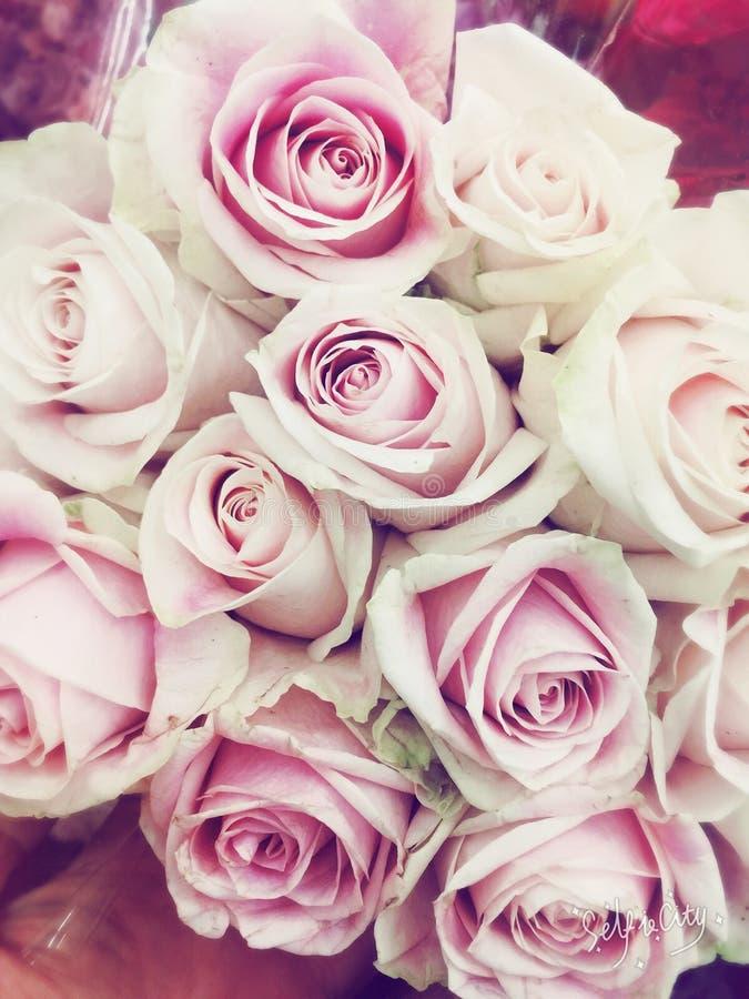 Bukett av nätta mjuka vita och rosa rosor royaltyfri bild