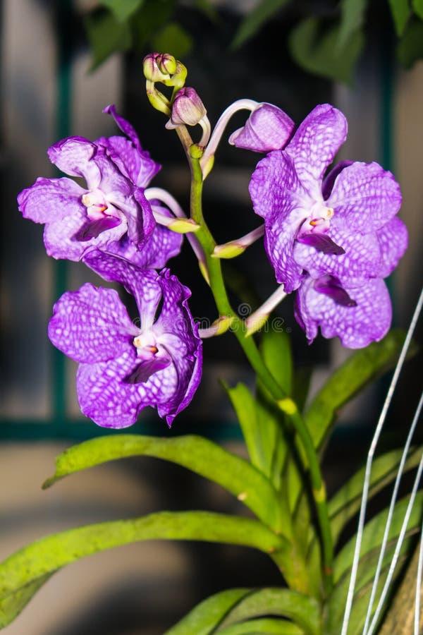 Bukett av purpurfärgade orkidér, Vanda arkivbilder