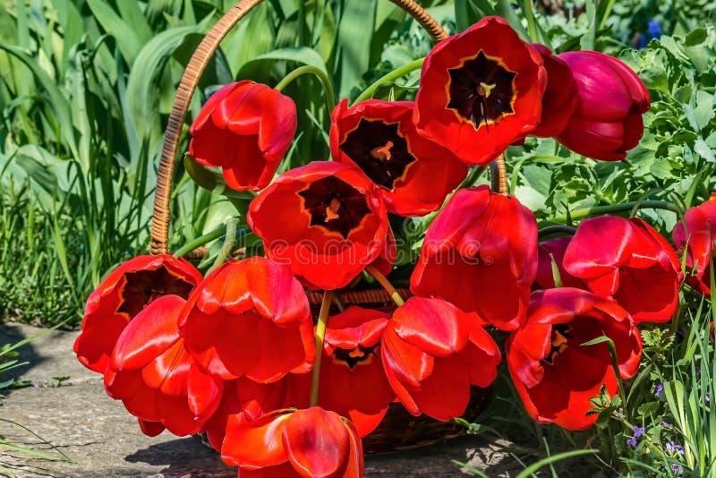 Bukett av röda tulpan i en vide- korg royaltyfri bild