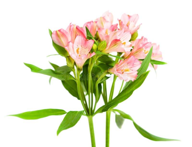 Bukett av rosa alstroemeria fotografering för bildbyråer