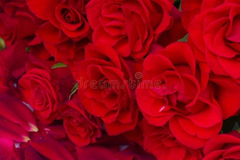 Bukett av scharlakansröda rosor arkivbild