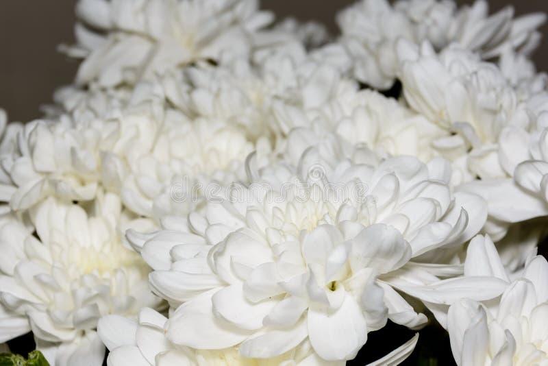 Bukett av vita krysantemumblommor Vita blommor, slut upp kronblad av den vita krysantemumblomman royaltyfria foton