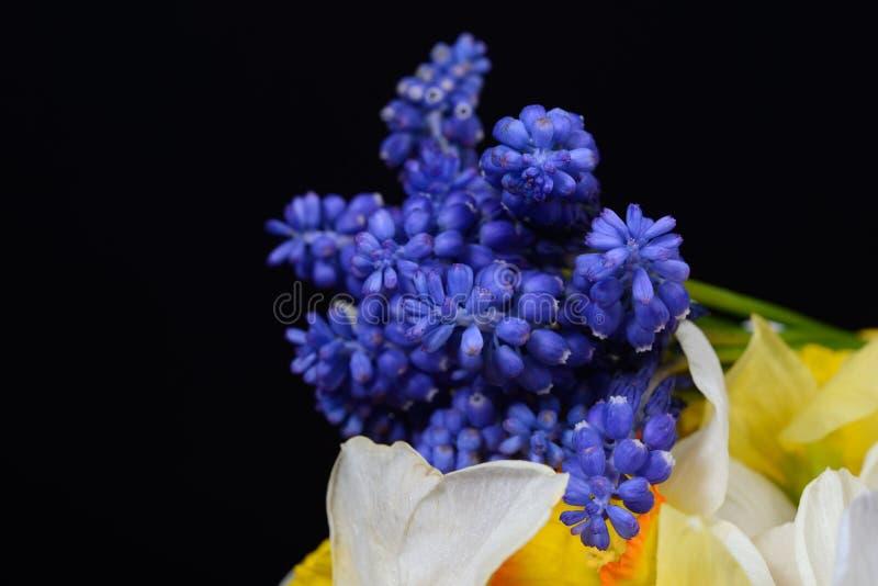 Bukett blommor av för den blåa armeniacumen för druvahyacint, Muscarioch y arkivbilder